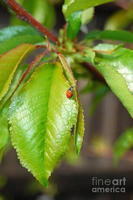 Photograph - Ladybug On Leaf by Debra Thompson