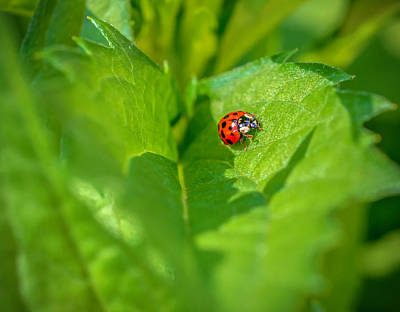 Photograph - Ladybug On Leaf by Keith Smith