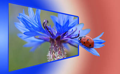 Photograph - Ladybug On The Cornflower by Ericamaxine Price