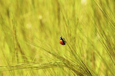 Ladybug In A Wheat Field Art Print by Yoel Koskas