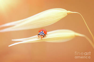 Photograph - Ladybug On The Wheat by Anna Om