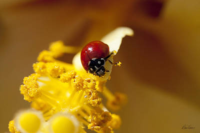 Photograph - Ladybug Picking Flowers by Diana Haronis