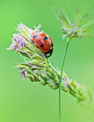 Dandelion Photograph - Ladybug by Oksana Ariskina