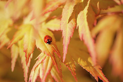 Maple Leaf Art Photograph - Ladybug Think Good Luck by Jenny Rainbow