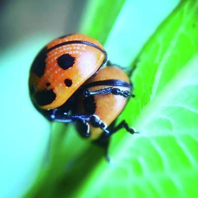 Sexy Photograph - Ladybugs, Behaving In A Most by Heidi Hermes