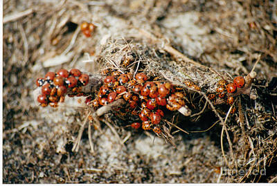 Photograph - Ladybugs En Masse by Mary Mikawoz