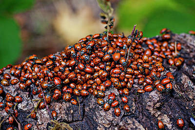 Ladybugs On Branch Print by Garry Gay