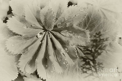 Photograph - Lady's Mantle Softness by Karen Adams
