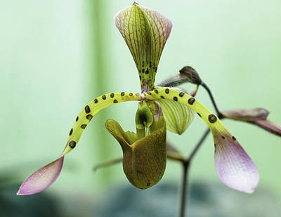 Photograph - Lady's Slipper Orchid by Cristina Stefan