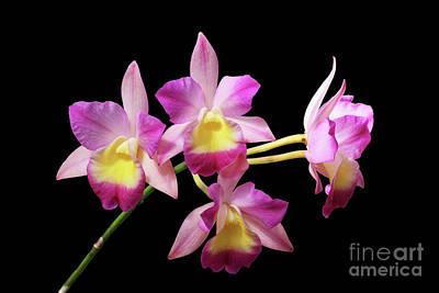 Laeliocatonia Hybrid Orchids Art Print