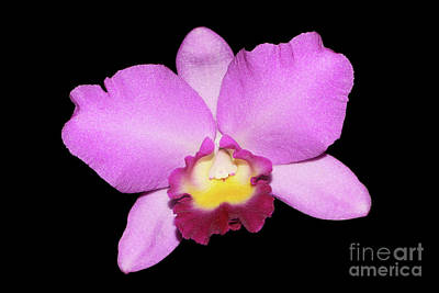 Laeliocattleya Angel Heart X Cattleya Portia Art Print by Judy Whitton