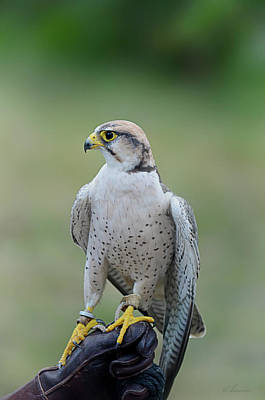 Falconers Photograph - Laggar Falcon  by Maria Angelica Maira