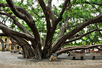 Banian Photograph - Lahaina Banyan Tree 8 by Nature  Photographer
