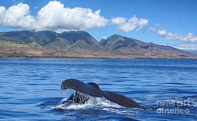 Whales Photograph - Lahaina Humpback by Sean  James G
