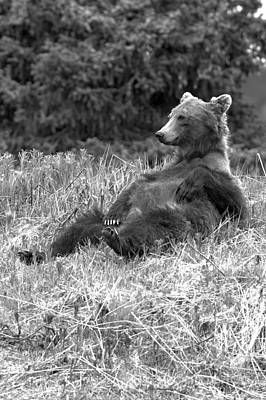 Photograph - Laid Back Banff Grizzly by Adam Jewell