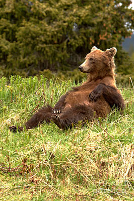 Photograph - Laid Back Banff Grizzly Bear by Adam Jewell