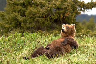 Photograph - Laid Back Grizzly Bear By Bow Lake by Adam Jewell