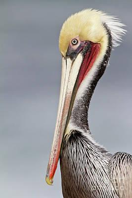 Photograph - La Jolla Pelican by Bryan Keil