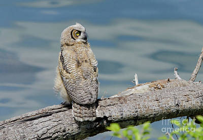 Photograph - Lake-loving Owlet by Dee Cresswell
