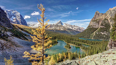 Photograph - Golden Tree Of Lake O'hara by Pierre Leclerc Photography