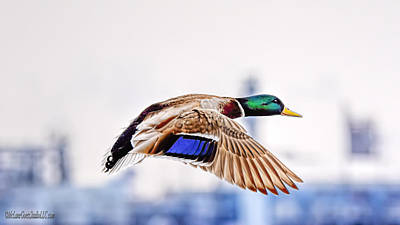 Photograph - Lake Saint Clair Mallard In Flight by LeeAnn McLaneGoetz McLaneGoetzStudioLLCcom