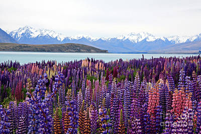 Photograph - Lake Tekapo With Lupins by Nareeta Martin