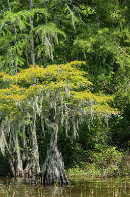 Lake Waccamaw Photograph - Lake Waccamaw Cypress by Brian Green