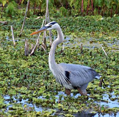 Photograph - Lakeshore Great Blue Heron by Warren Thompson