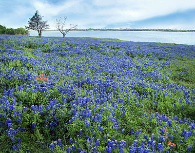 Photograph - Lakeside Bluebonnets by David and Carol Kelly