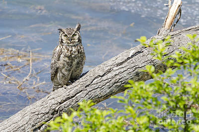 Photograph - Lakeside Owl by Dee Cresswell
