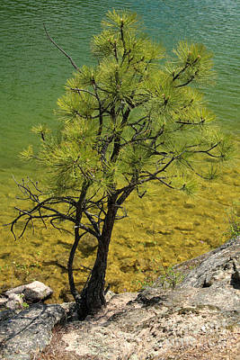 Photograph - Lakeside Pine by Frank Townsley