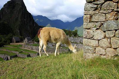Photograph - Llama At Machu Picchu, Peru by Aidan Moran