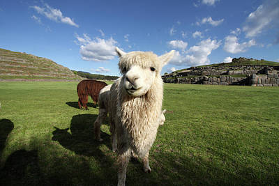 Photograph - Lama At Sacsaywaman Ruin, Peru by Aidan Moran