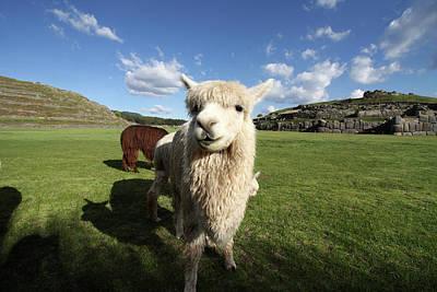Photograph - Llama At Sacsayhuaman Ruin, Peru  by Aidan Moran