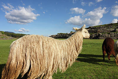 Photograph - Lama At Saqsaywaman Ruin, Peru by Aidan Moran