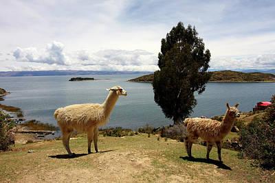 Photograph - Lama On Isla Del Sol by Aidan Moran