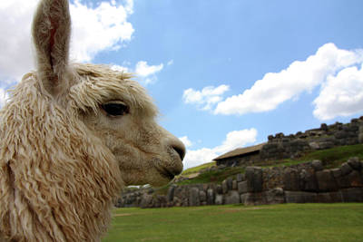 Photograph - Llama Portrait At The Saqsaywaman Ruin, Peru by Aidan Moran
