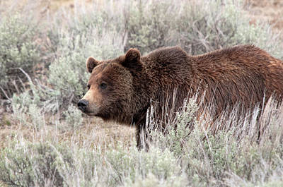 Photograph - Lamar Grizzly by Steve Stuller
