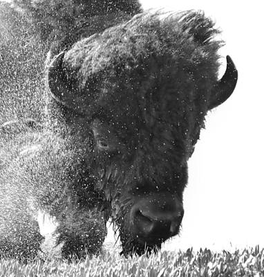 Lamar Valley Bison Black And White Original by Dan Sproul