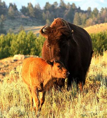 Lamar Valley Mom And Calf Bison Art Print by Adam Jewell