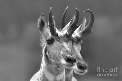 Photograph - Lamar Valley Pronghorn Duo Black And White by Adam Jewell