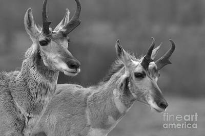 Photograph - Lamar Valley Pronghorn Landscape Black And White by Adam Jewell