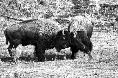 Photograph - Lamar Valley Roughhousing Black And White by Adam Jewell