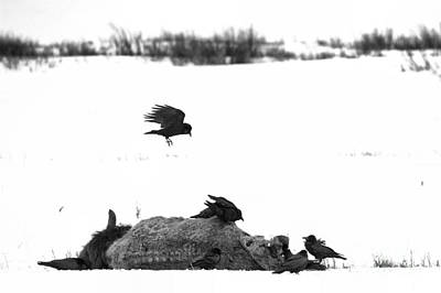 Photograph - Lamar Valley Scavengers Black And White by Adam Jewell