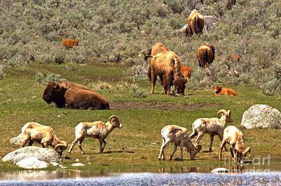 Photograph - Lamar Valley Wildlife Picnic by Adam Jewell