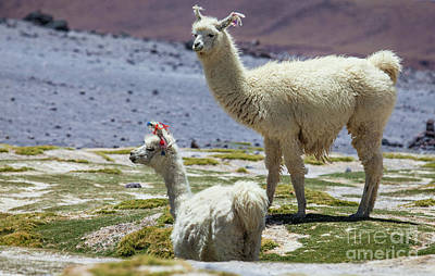 Photograph - Lamas In Bolivia by Olivier Steiner