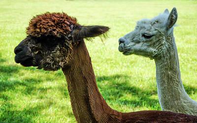 Photograph - Lamas by Lilia D