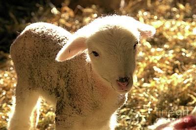 Photograph - Lamb All Aglow by Carole Martinez