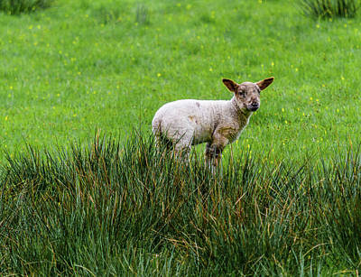 Photograph - Lamb Alone In The Tall Grass by Scott Lyons