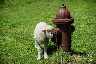 Photograph - Lamb And Fire Hydrant by Alana Ranney